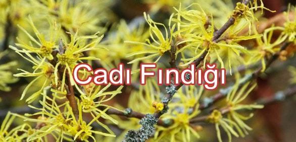 Basur İçin Bitkisel Çözüm Niteliğinde Kullanılan - 4 Doğal Bitki Tavsiyesi